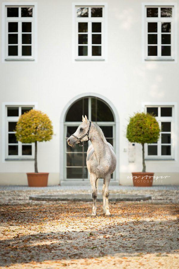 Tierfotografie Eva Stöger Pferdefotografie Araber