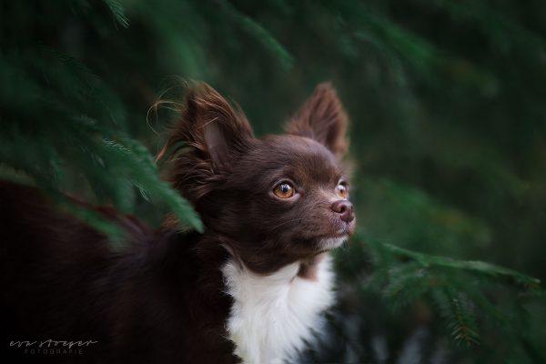 Tierfotografie Eva Stöger Hundefotografie Chihuahua