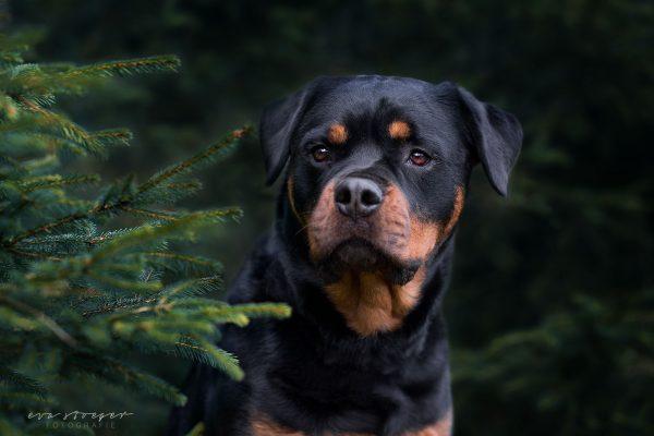 Tierfotografie Eva Stöger Hundefotografie Rottweiler
