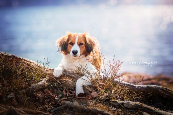 Tierfotografie Eva Stöger Hundefotografie Koiiker