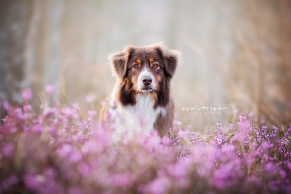 Tierfotografie Eva Stöger Hundefotografie Australian Shepherd