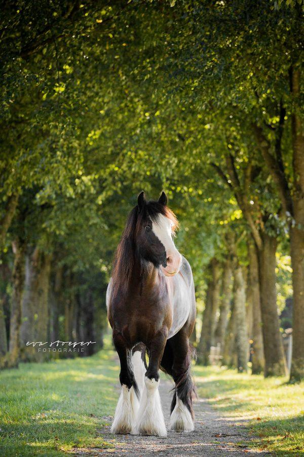 Tierfotografie Eva Stöger Pferdefotografie Tinker
