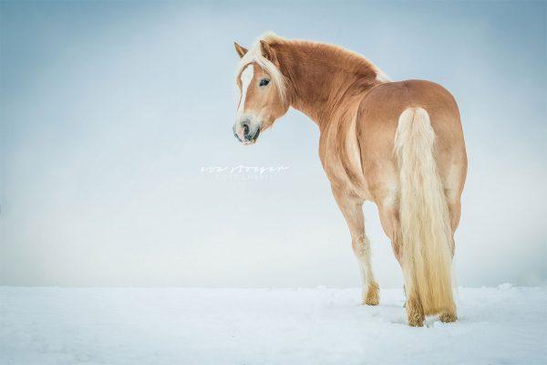 Tierfotografie Eva Stöger Pferdefotografie Haflinger