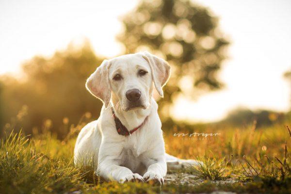 Tierfotografie Eva Stöger Hundefotografie Labrador
